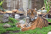 Jillian has grown into quite a beauty!  (Sumatran Tiger)