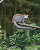A newly arrived Crowned Lemur, checking out its new exhibit.