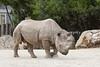 """""""Boone"""", a Black Rhinoceros"""