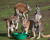 Red Kangaroo Lunch meeting