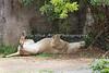 """Just Lion around!""   (Sukari, an African Lioness)"