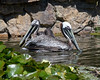 A couple of Brown Pelicans in the pond near Eagle Island.