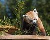 *Munch, munch, munch!*  (Red Panda, Tenzing)