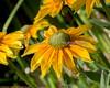 Black-eyed Susan flower at Conservation Corner
