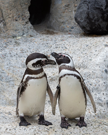 """""""Not now, someone is watching!""""  (Magellanic Penguins)"""