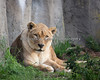 "A Grand Lady, ""Amanzi"" (African Lioness)"