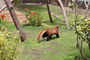 Off he goes!  (Red Panda, Tenzing)