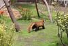 Off he goes!  (Red Panda, Tenzing)