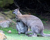 """Wait - is that a dirty spot on your chest?  let me fix that...""  (Bennett's Wallaby)"