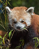 Tenzing's favorite snack is bamboo!  (Red Panda)