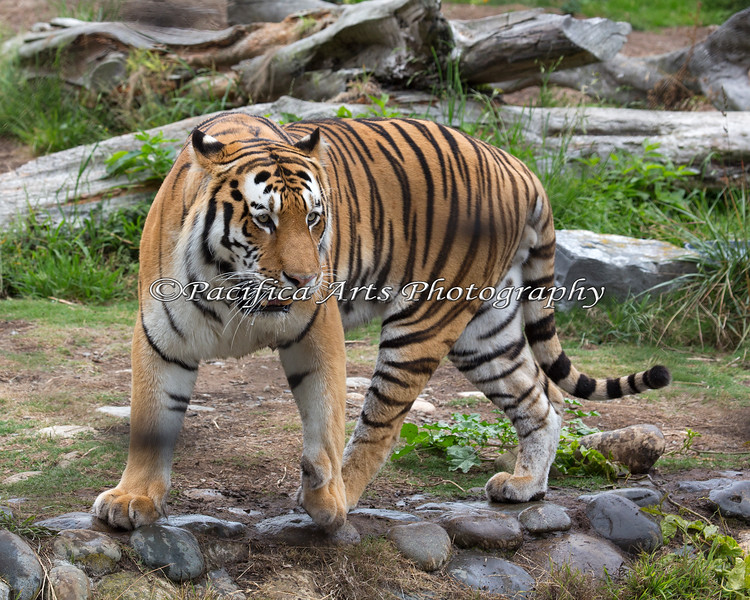 Beautiful Siberian/Amur Tiger