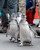 """""""I think I see a giant swimming pool!""""  (Magellanic Penguins at the March of the Penguin event)"""