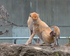 Hop, skip, and a jump around mom.  (Patas Monkeys)