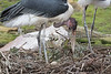 Marabou Stork on the nest of three eggs.