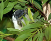 """""""The leaves are great, but these stems are really tough!"""" (Pied Tamarin)"""