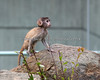 So many new things to discover!  (Patas Monkey baby, 2 months old)