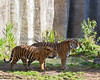 Sumatran Tigers:  11 month old Jillian on the left, and her mom, Leanne, on the right.