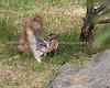 Winnie lets her baby walk around in the grass.  (Patas Monkeys)
