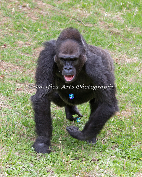 Did you know that Gorillas like to chase bubbles?  Well, neither did I!  A small child was blowing bubbles above, and some floated down to the Gorillas. Here's Zura, chasing the bubbles and trying to pop them by biting them.