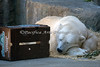 Naptime for Uulu, the Polar Bear