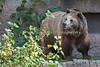 Kiona, a Grizzly Bear, walking around her night quarters.