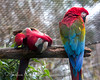 Green-winged Macaw buddies - Roberto & Blanco
