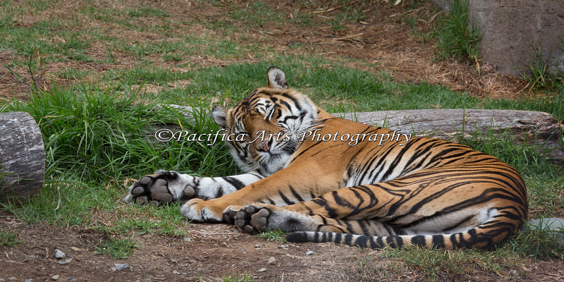 Naptime for Leanne  (Sumatran Tiger)