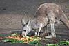 Red Kangaroo feasting at the salad bar.