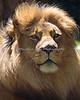 Mr. Handsome.  (Jahari, an African Lion)