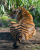 """Leanne"", showing her stripes. (Sumatran Tiger)"