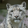 Kelley, a female Snow Leopard