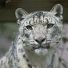 Kellie, a female Snow Leopard
