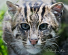 Up close and beautiful!  (Fishing Cat)