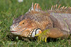 """Louie, a Green Iguana.  He lives at the ARC"