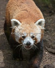 """Were you lookin' for ME???  (Red Panda, Tenzing)"