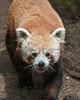"""""""Were you lookin' for ME???  (Red Panda, Tenzing)"""