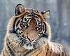 Stunning. One-year-old Jillian, a female Sumatran Tiger