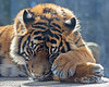 ZZZzzzz....(Sumatran Tiger - Jillian)