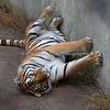 """Ohhhh, Streeeeeetch!""   (Siberian Tiger)"