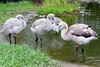 The baby Chilean Flamingos are growing up!