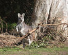 A Wallaroo!  After 5 years, I can now identify a Wallaroo from the other marsupials!  I learn something new at the SFZoo every day!