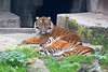 Moms are so boring sometimes!  (Jillian, awake & Leanne, asleep)<br /> (Sumatran Tigers)