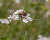 Conservation Corner - Cilantro Flower and Honeybee