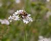 Conservation Corner - Cilantro Flower and Honeybee