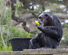 Chimpanzee - Maggie - Enrichment