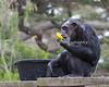 Chimpanzee - Maggie - Enrichment