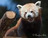 Oh boy, more visitors!  (Red Panda, Tenzing)