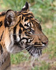 Head study of Jillian at 15 months. (Sumatran Tiger)