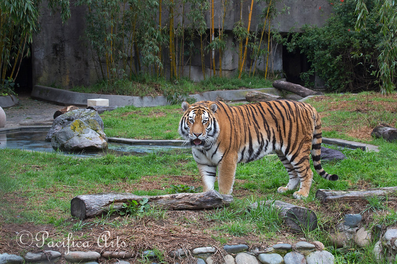 Siberian or Amur Tiger - (New Male)