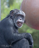 Minnie, a female Chimpanzee